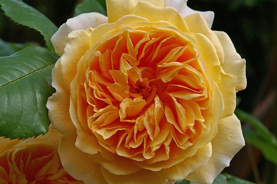 Rose, Crown Princess Margareta, English Rose