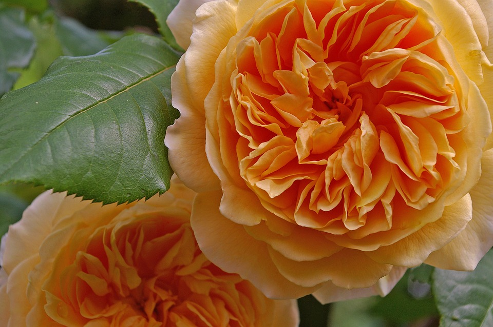 Rose, Crown Princess Margareta, English Rose