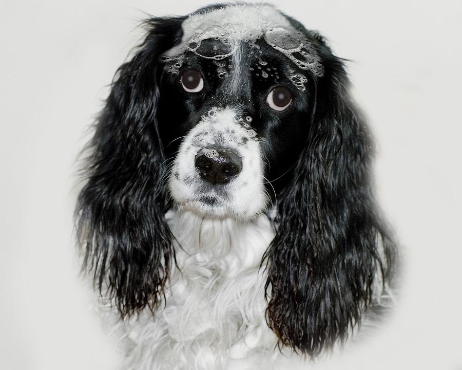 English Springer Spaniel, Dog, Sudsie Sadie, Suds, Bath