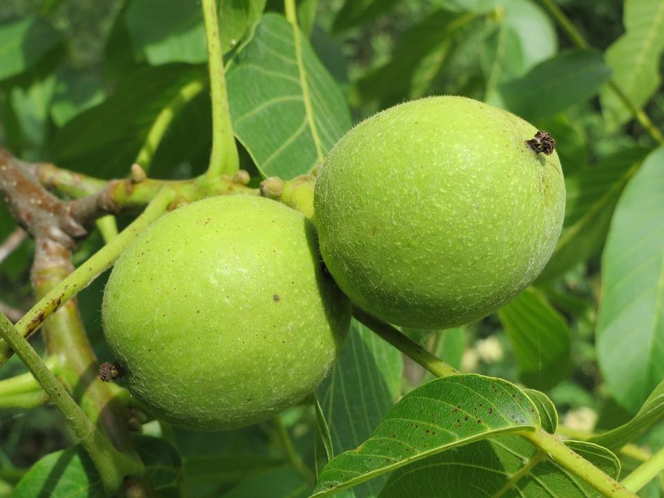 Juglans Regia, Persian Walnut, English Walnut