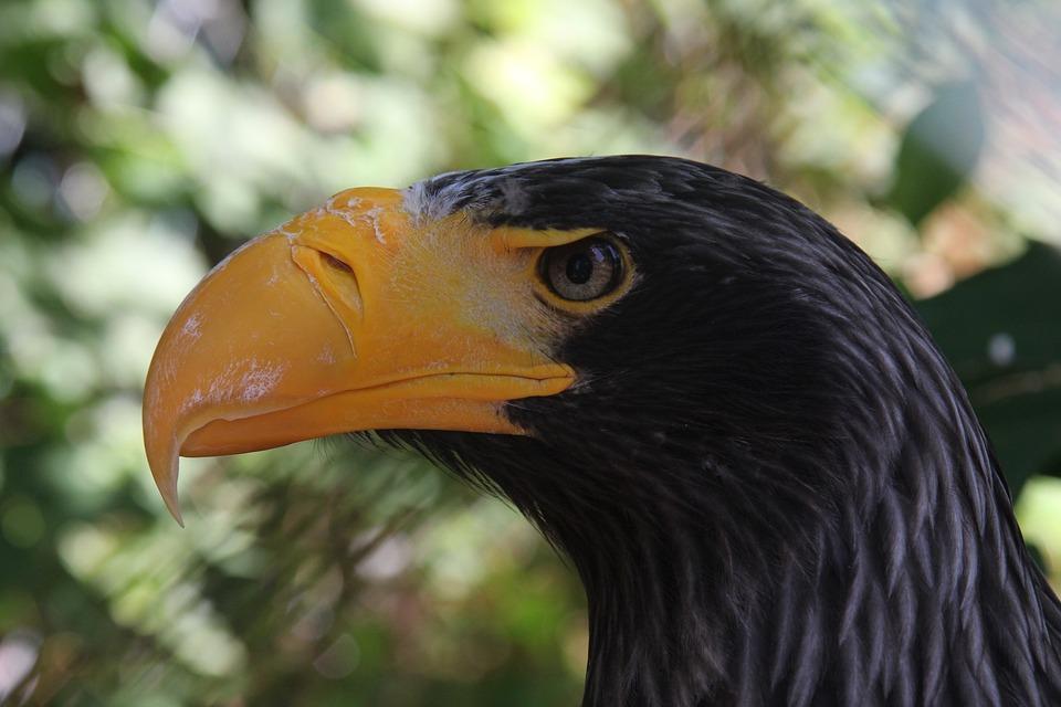 Adler, Enormous, Nature, Bill, Bird, Predator, Force