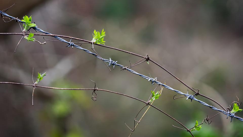 Barbed, Wire, Plant, Entwined, Entangled, Mimic