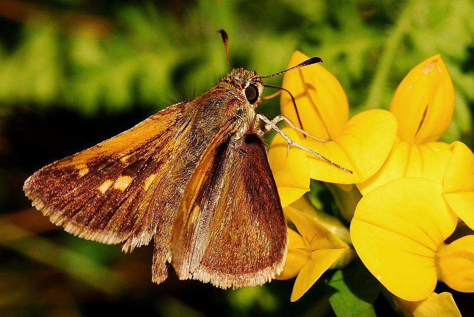 Butterfly, Skipper, Macro, Insect, Entomology