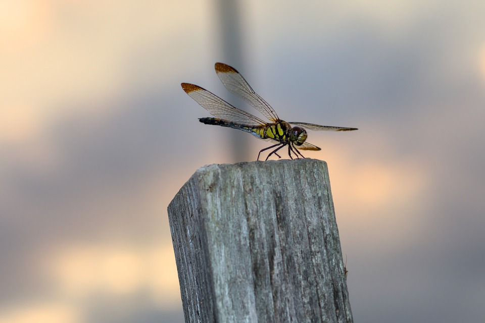 Dragonfly, Dragonfly Wings, Insect, Entomology, Dusk