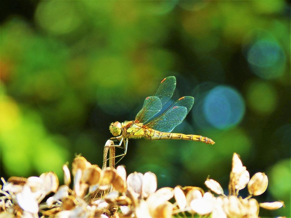 Nature, Dragonfly, Natural, Entomology, Insect, Fauna