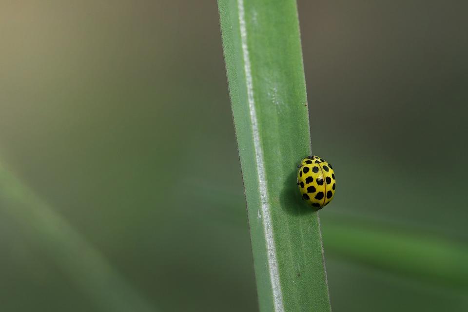 Insect, Ladybug, Entomology, Species, Macro, Nature