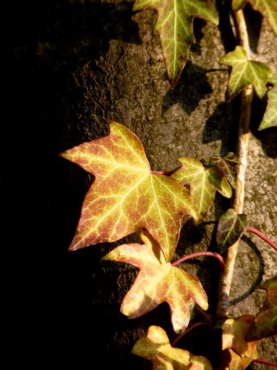 Ivy, Climber, Tree, Entwine, Ivy Leaf, Leaf, Ranke