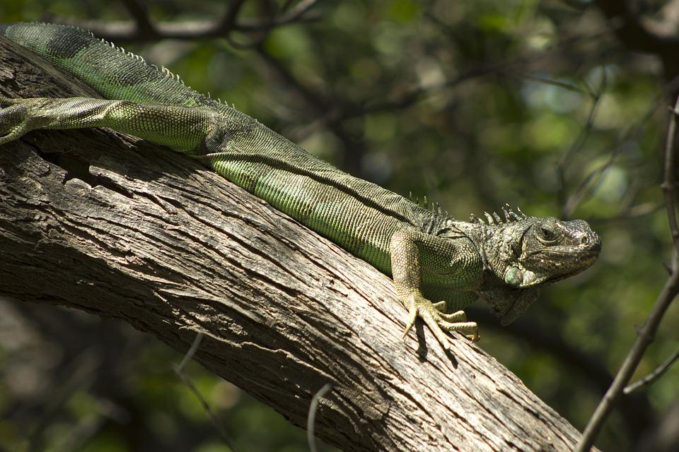 Iguana, Colombia, Nature, Reptile, Animal, Environment