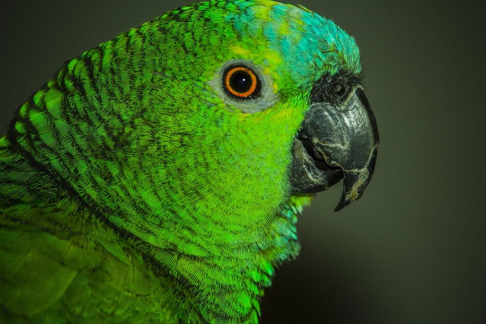 Parrot, Birdie, Bird, Laurel, Nature, Environment
