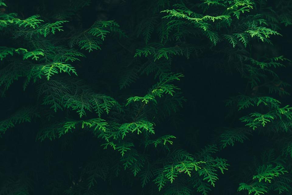 Color, Conifer, Environment, Flora, Foliage, Green