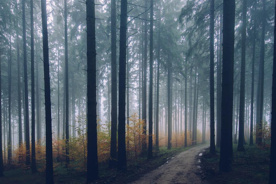Forest, Path, Conifer, Environment, Fall, Fog, Haze
