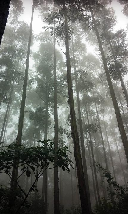 Forest, Trees, Misty, Nature, Green, Wood, Environment