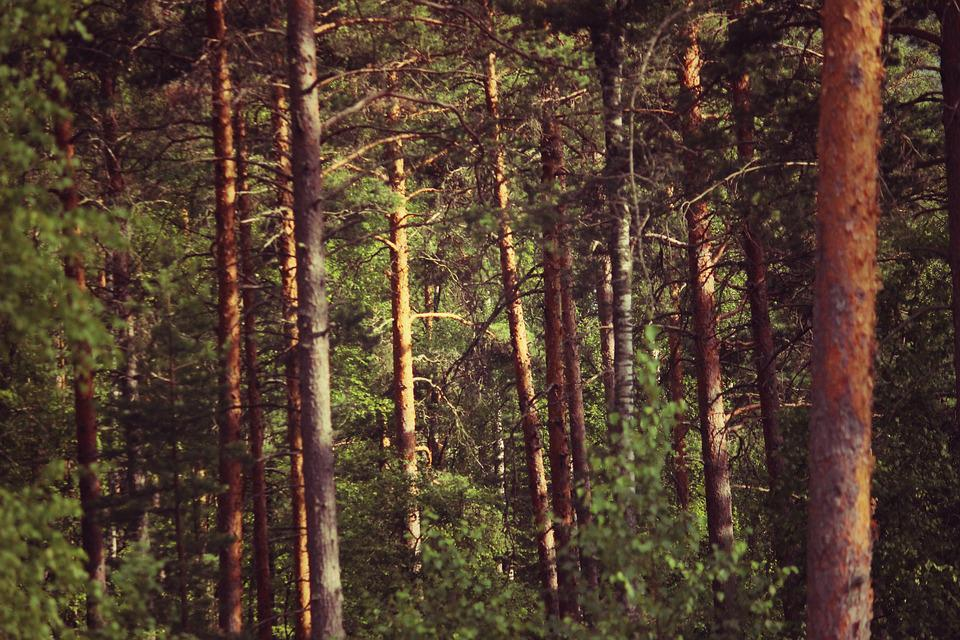 Forest, Finland, Old, Vintage, Summer, Environment
