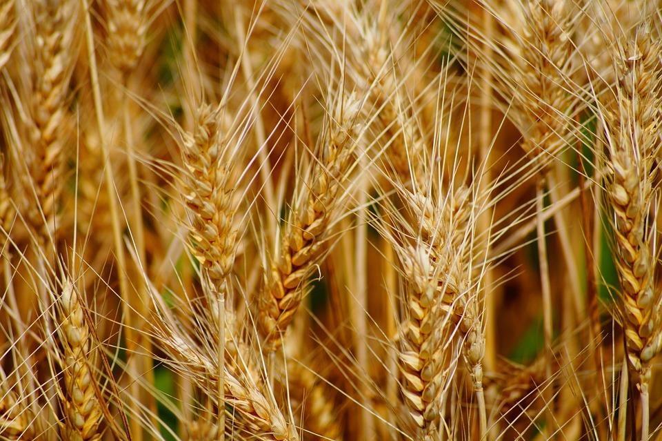 Wheat, Fields, Cereals, Epi, Agriculture, Durum Wheat