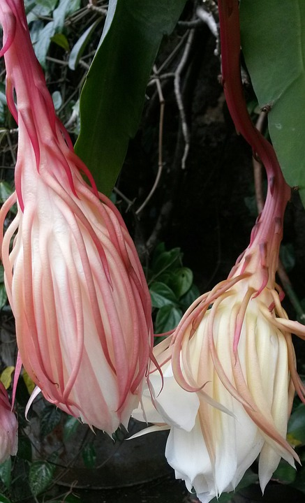 Epiphyllum Anguliger, Flower, Epiphyllum, Rare