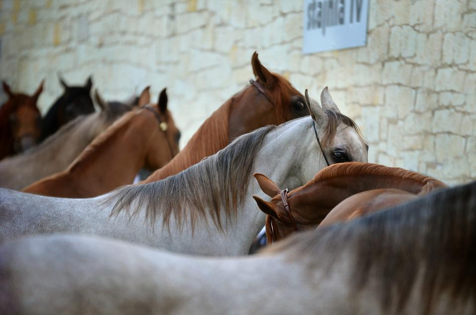 Arabian Horse, Horses, Line, Equine, Show, Breeding