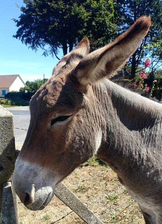 Mule, Donkey, Equine, Mammal, Countryside