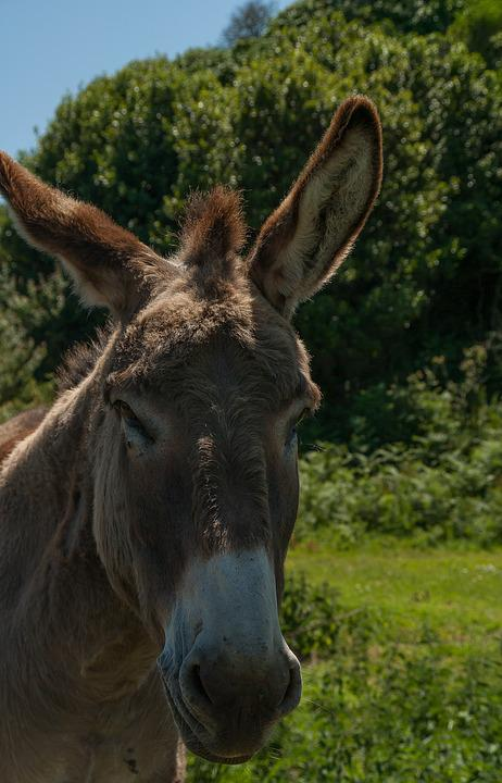 Donkey, Equine, Domestic Animal