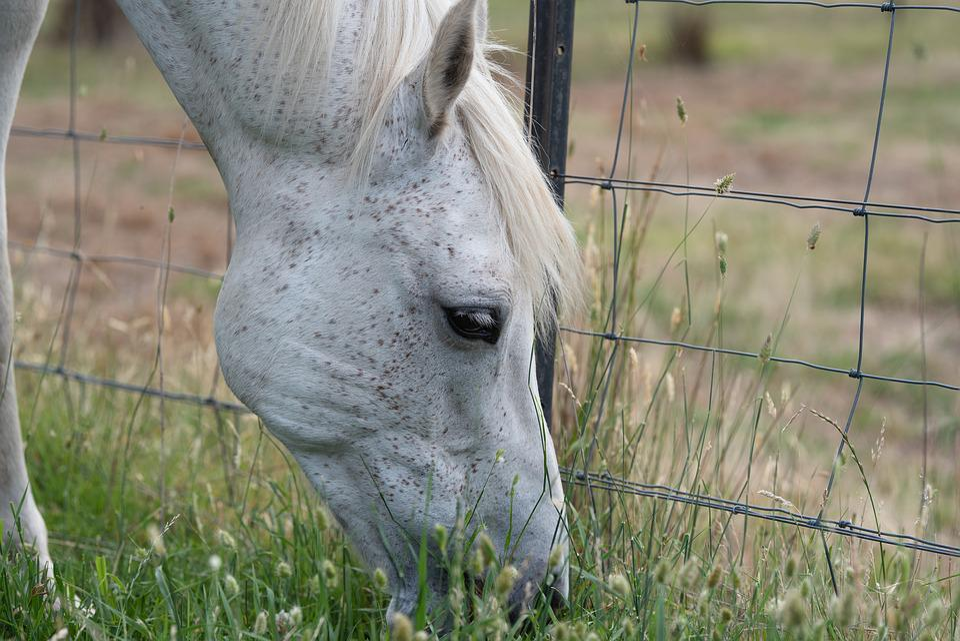 Horse, Pony, Equine, Australian Pony, Grey, Portrait