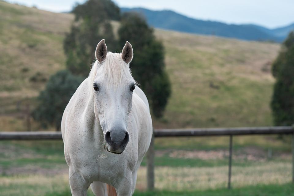 Horse, Pony, Equine, Australian Pony, Paddock, Looking