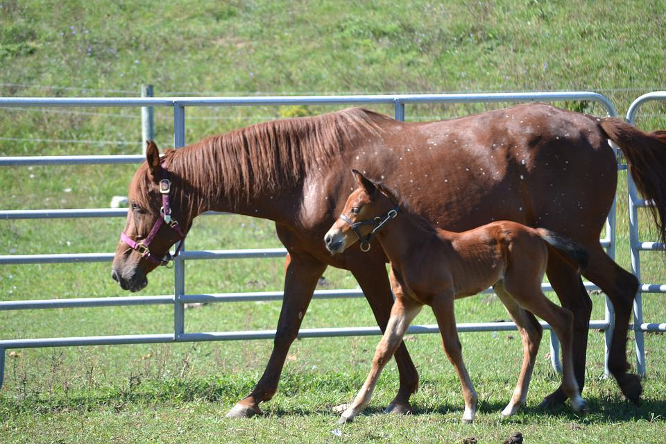 Horse, Equine, Mare, Foal, Colt, Animal, Nature, Horses