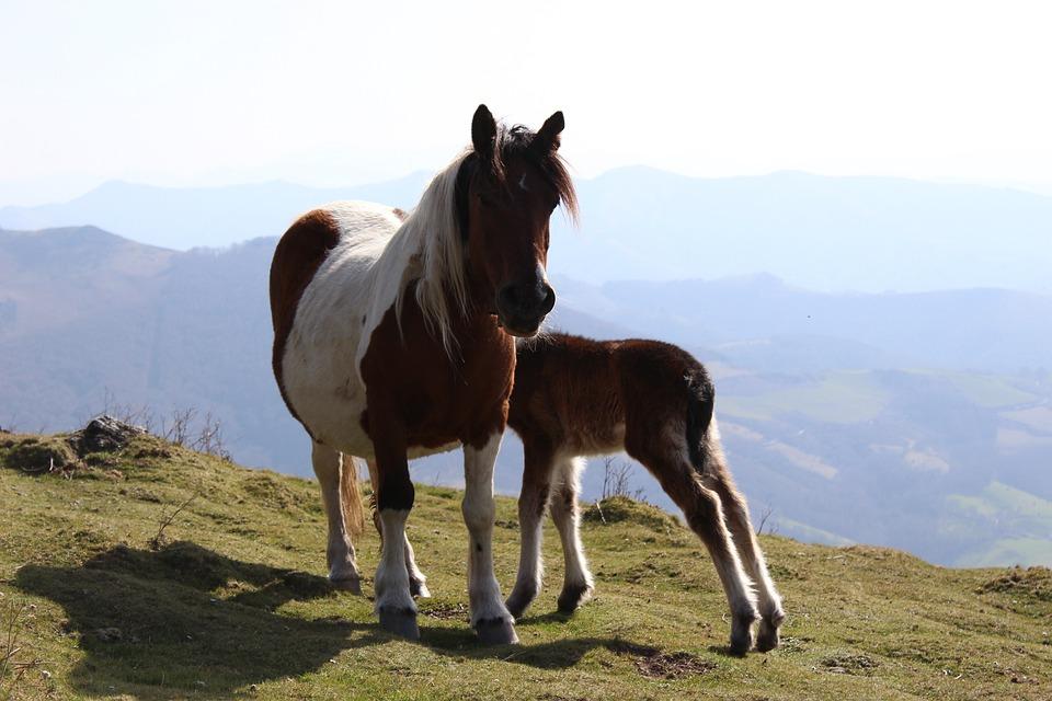 Horse, Nature, Equine, Mammals, Animals, Pastures