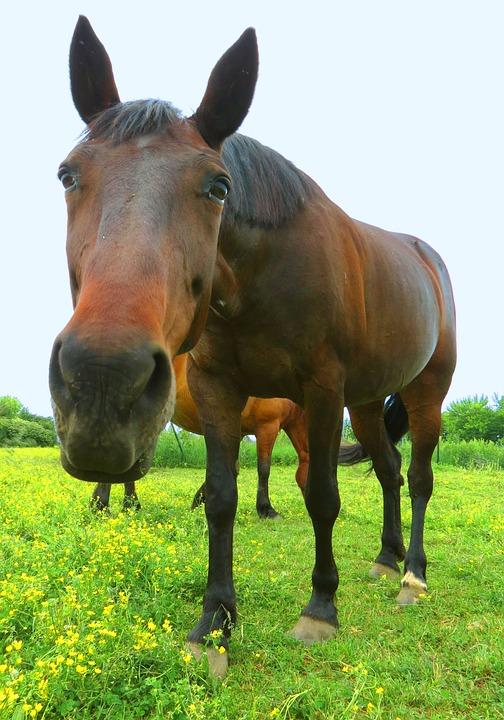 Horse, Equine, Reaching, Horses, Pasture, Meadow
