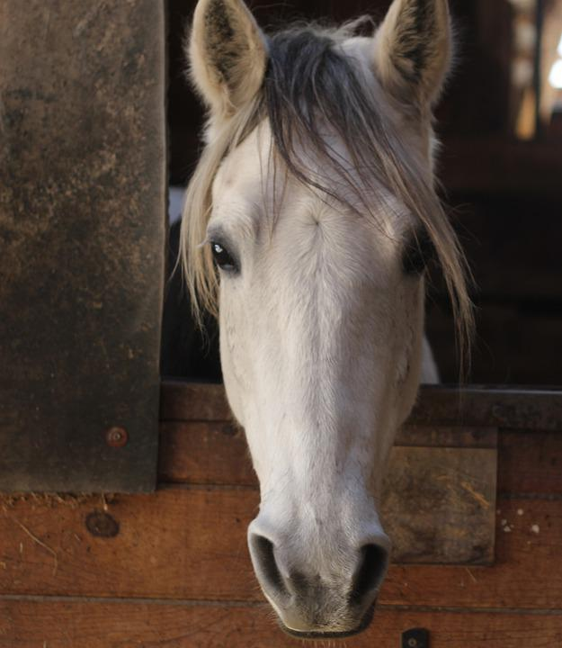 Horse, Animal, Stable, White Horse, Equine, Mammal