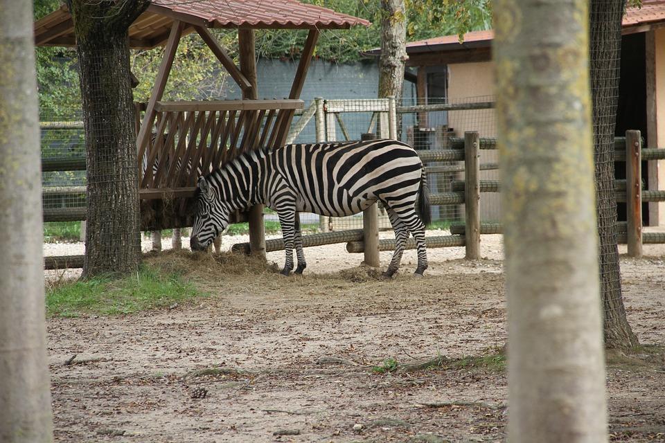 Zebra, Animal, Equine, Zoo, Wild, Wildlife, Nature
