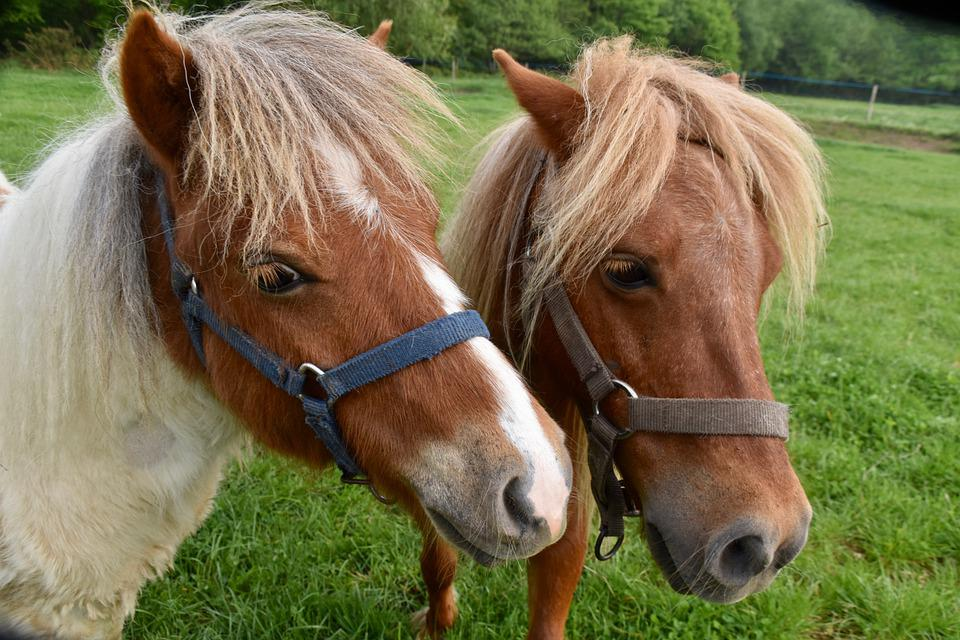 Ponies And Shetlands, Equines, Animal Portrait
