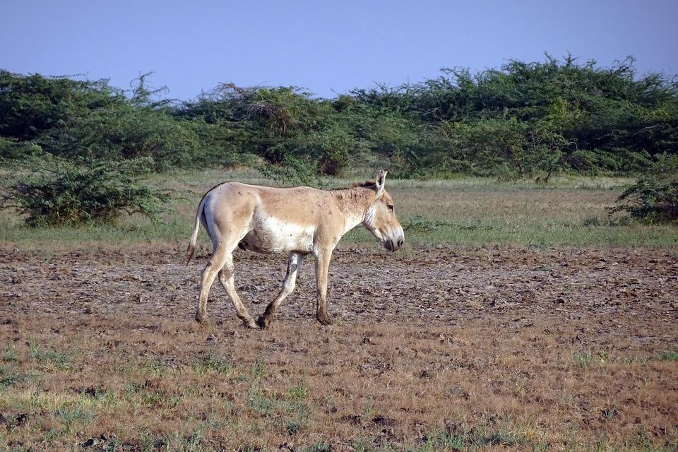 Indian Wild Ass, Equus Hemionus Khur, Ghudkhur, Khur