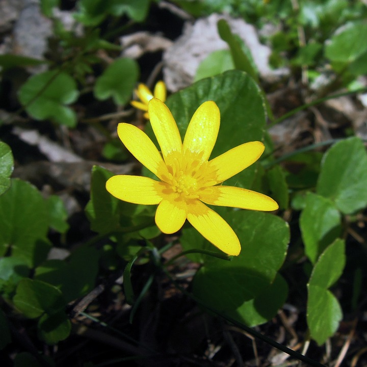 Eranthis, èrantis Winter, Flower, Yellow