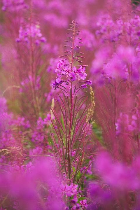 Heather, Plant, Flower, Bloom, Flora, Purple, Erica