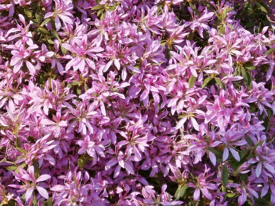 Azalea, Ericaceae, Pink Flower, Flower Wagon
