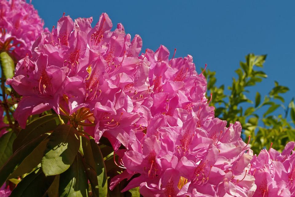Rhododendron, Bush, Flowers, Pink, Garden, Ericaceae