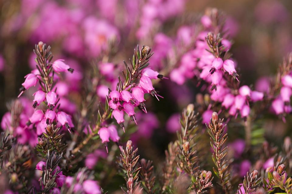 Heather, Heather Green, Irish Heath, Heide, Ericaceae