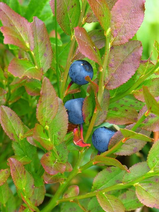Blueberry, Bush, Violet, Ericaceae, Dwarf Shrub, Leaves