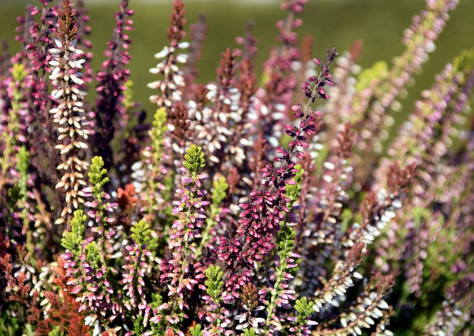 Erika, Close, Pink, Heather, Flower, Bloom, Plant