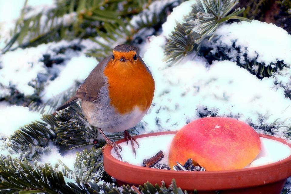 Robin, Erithacus Rubecula, Bird, Animal, Winter, Garden