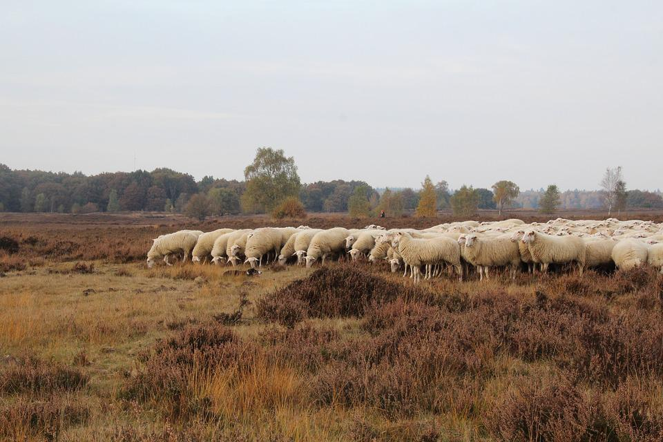 Sheep, Ermelo, Dog, Veluwe, Netherlands, Obey, Float