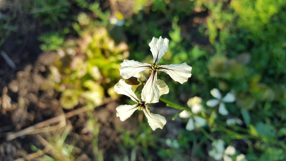 Arugula, Rucola, Eruca Sativa, Brassicaceae, Rugula
