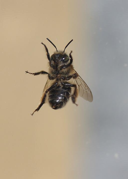 Bee, Insecta, Window, Dark, Escape