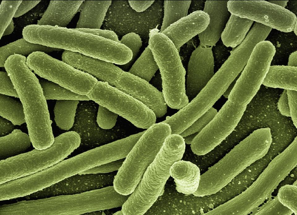 Koli Bacteria, Escherichia Coli, Bacteria, Disease