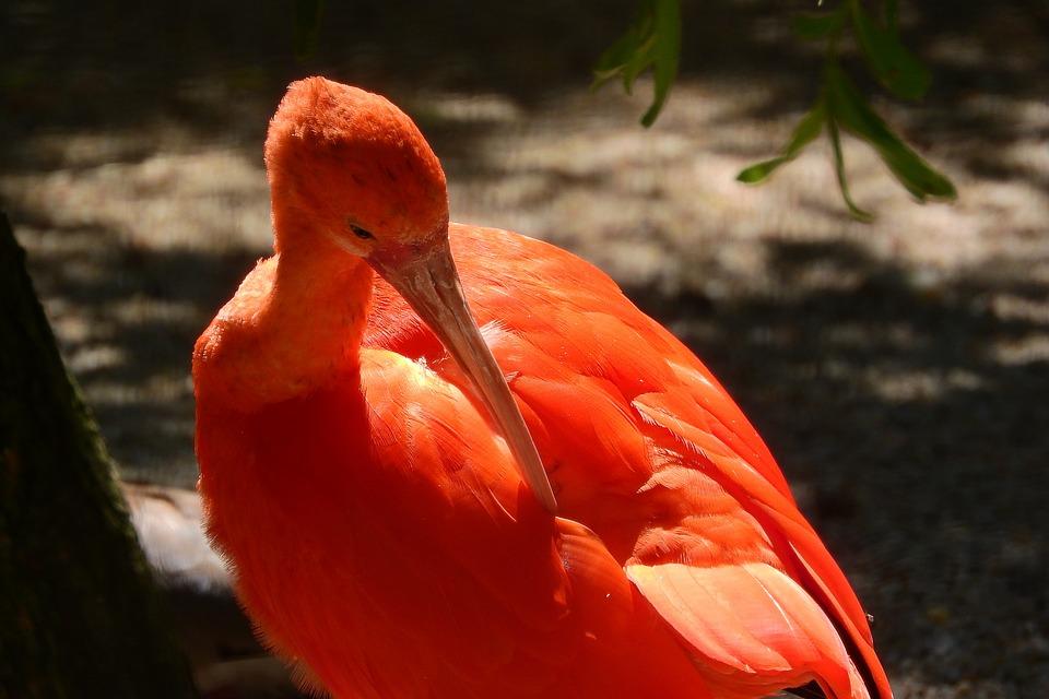 Ibis Red, Eudocimus Ruber