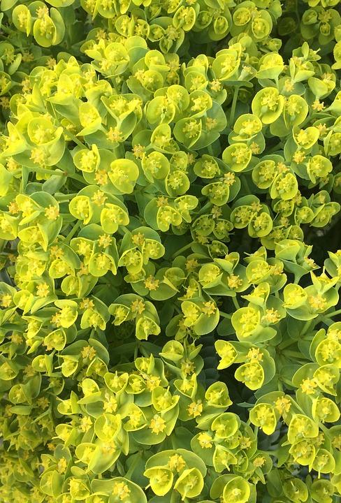 Spurge, Euphorbia, Euphorbiaceae, Spurge Family, Plant