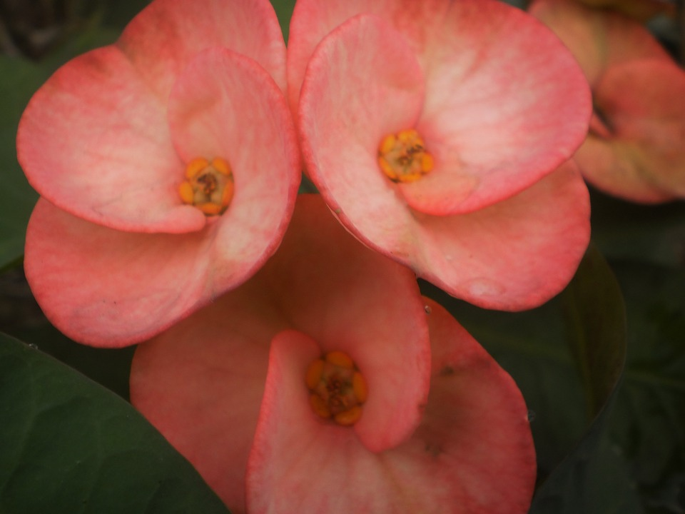 Euphorbia, Pink, Euphorbiaceae, Colorful Flowers