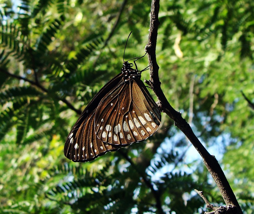 Common Crow, Euploea Core, India, Butterfly, Insect
