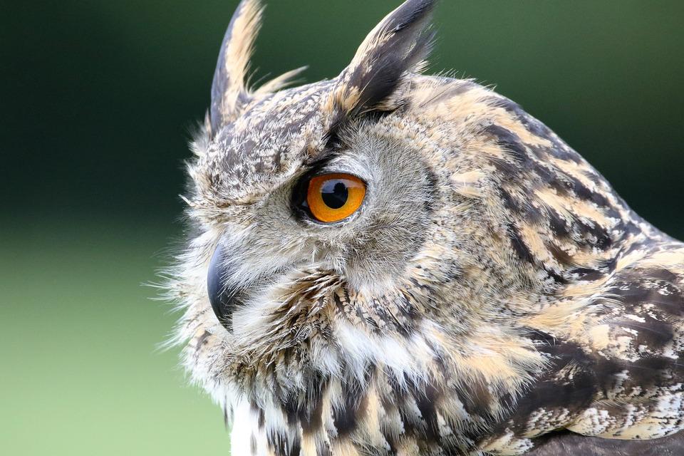Eurasian Eagle Owl, Owl, Eurasian, Wildlife, Bird, Prey