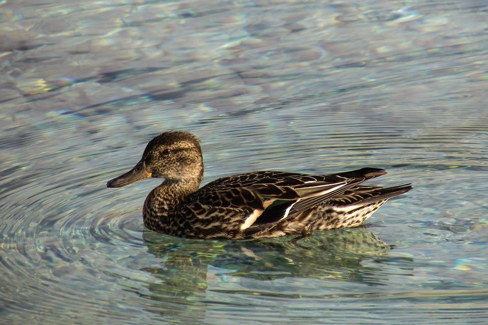 Eurasian Teal, Anas Crecca, Duck, Dabbling Duck