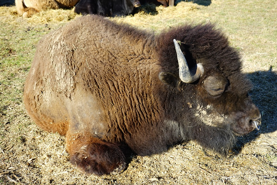 Wisent, Young Animal, European Bison, Bison